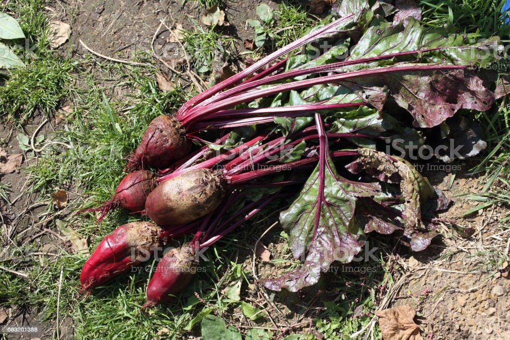 Beet harvest royalty-free 스톡 사진