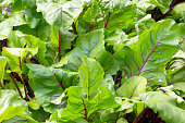 Beet leaves. Backgrounds