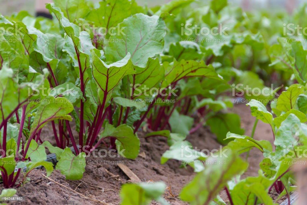 Photo de stock de Betterave À Planter Dans La Serre De Jardin ...