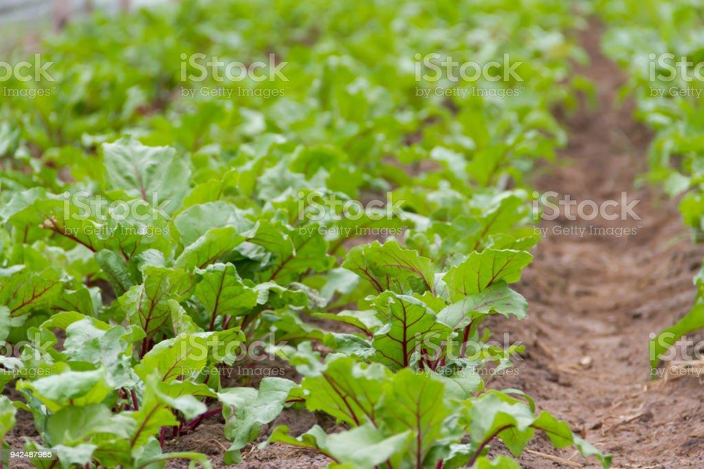 Photo libre de droit de Betterave À Planter Dans La Serre De Jardin ...