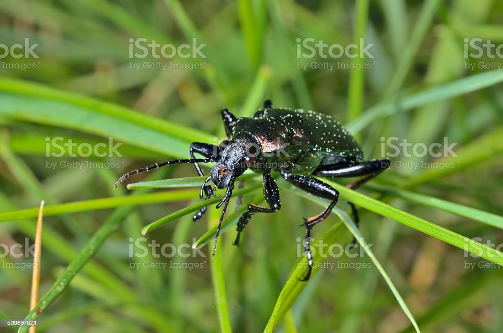 Beetle carabus (Calosoma) stock photo
