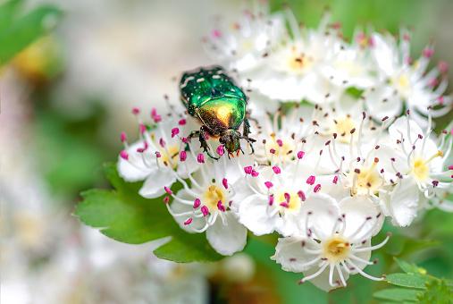 Beetle cetonia aurata sitting on flowers hawthorn close up. Nature background.