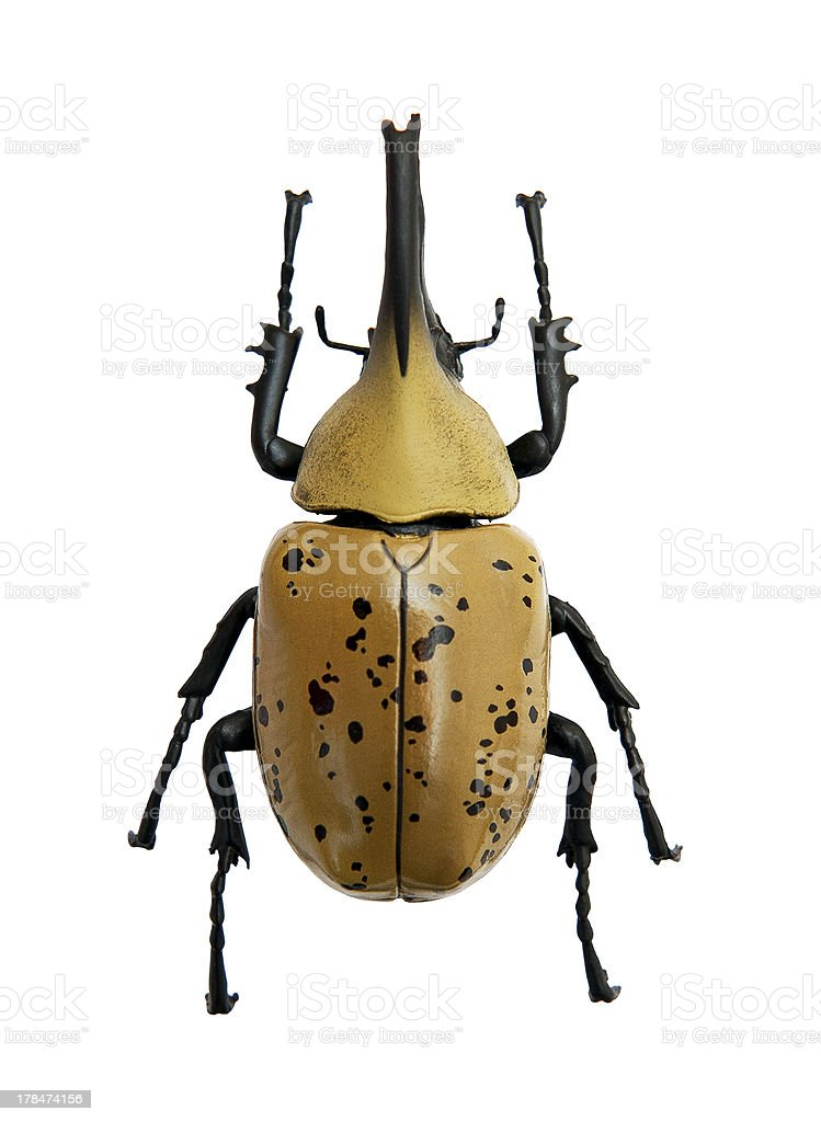 Beetle Dynastes granti stock photo