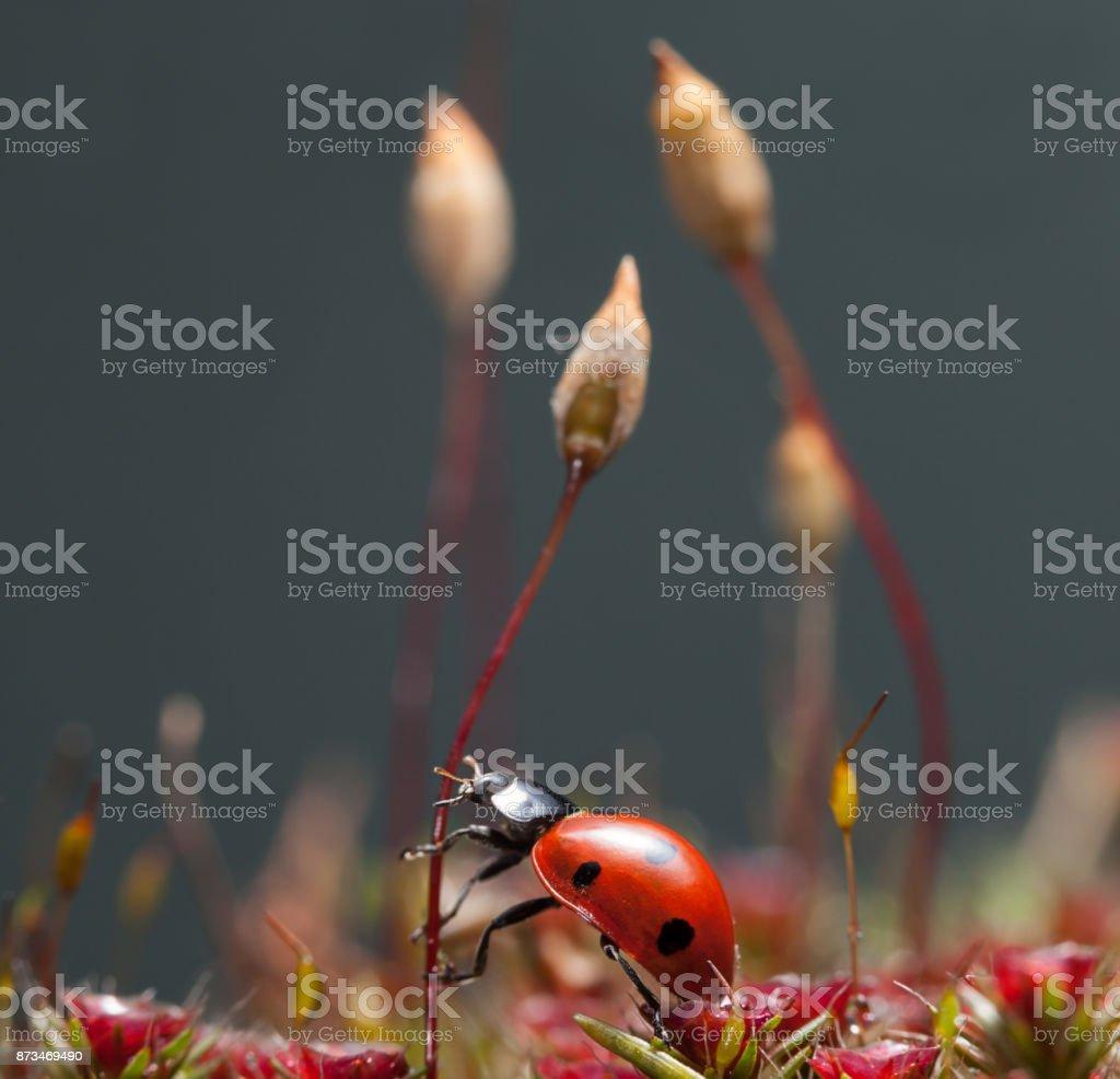 Beetle going to climb on moss seta stock photo