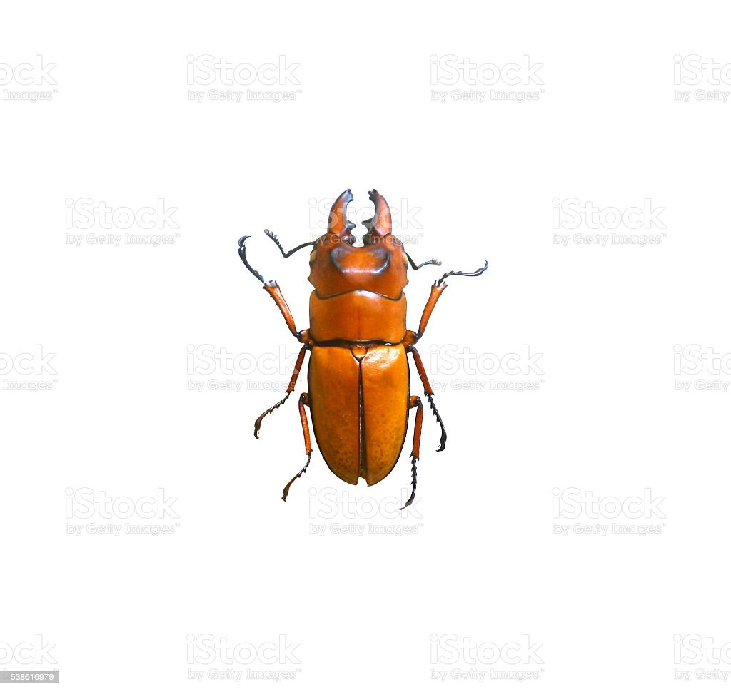 beetle isolated on white background stock photo