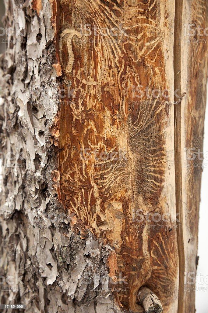 Beetle killed pine tree Colorado stock photo