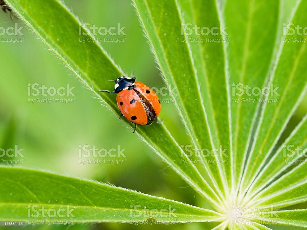 Beetle Ladybird royalty-free stock photo