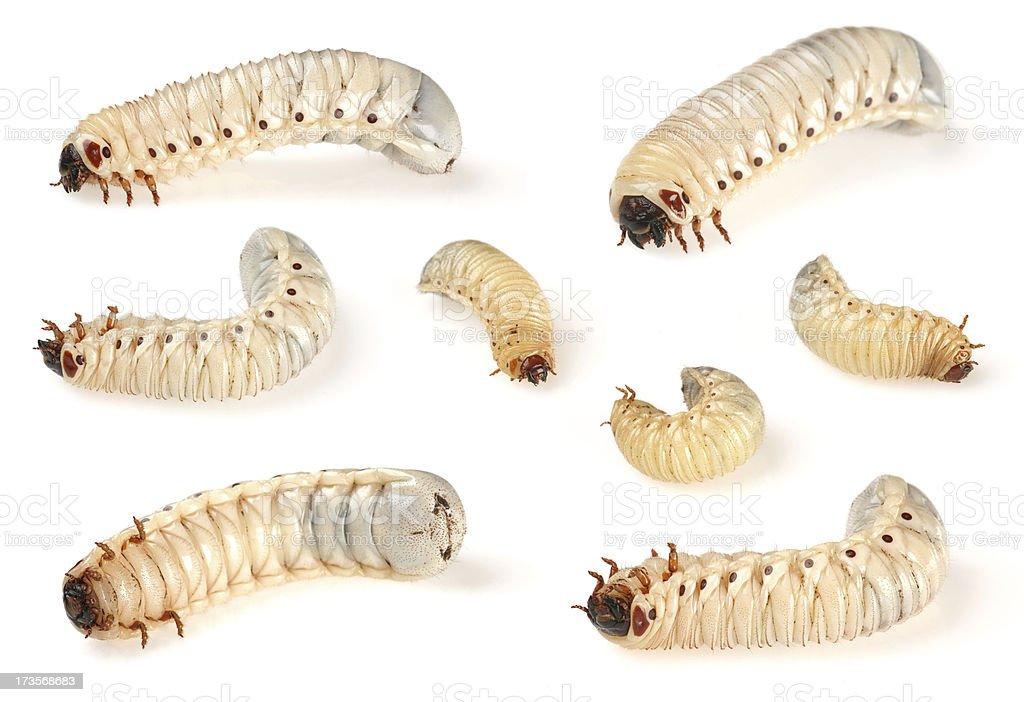 beetle larve stock photo