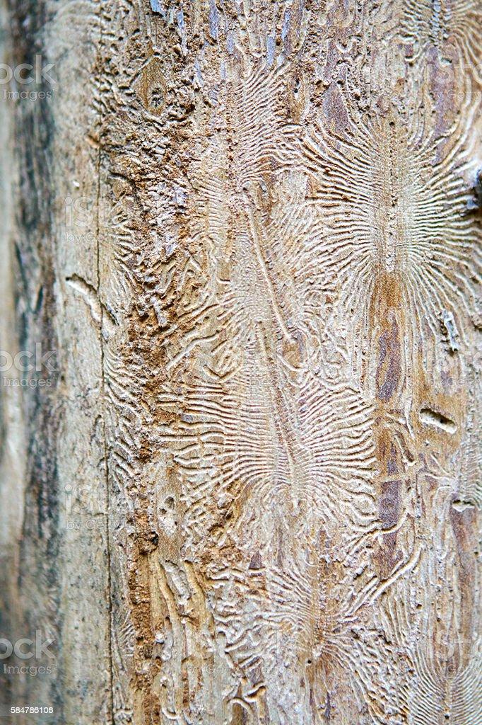 Beetle marks on the wood stock photo