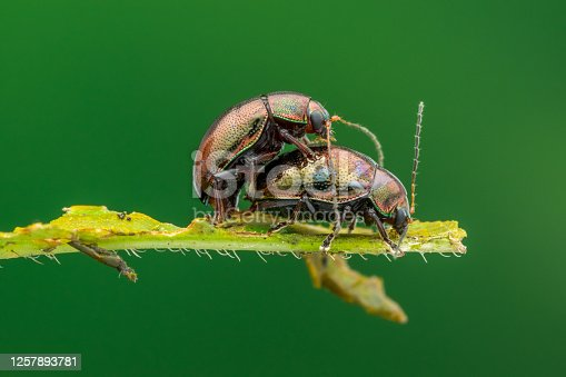 Lovely twos Beetle Mating - nature marco photography