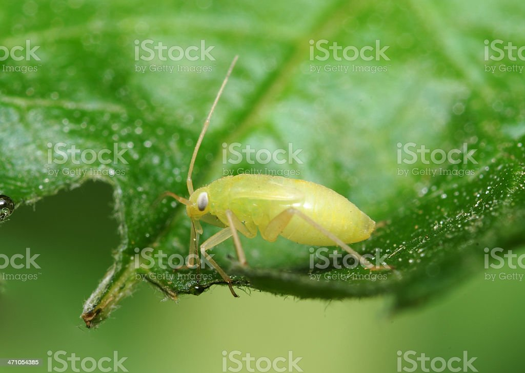 Beetle Nymph stock photo