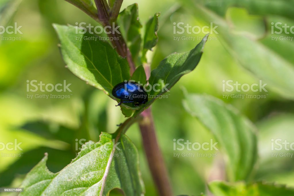 Beetle on a chocolate mint plant stock photo