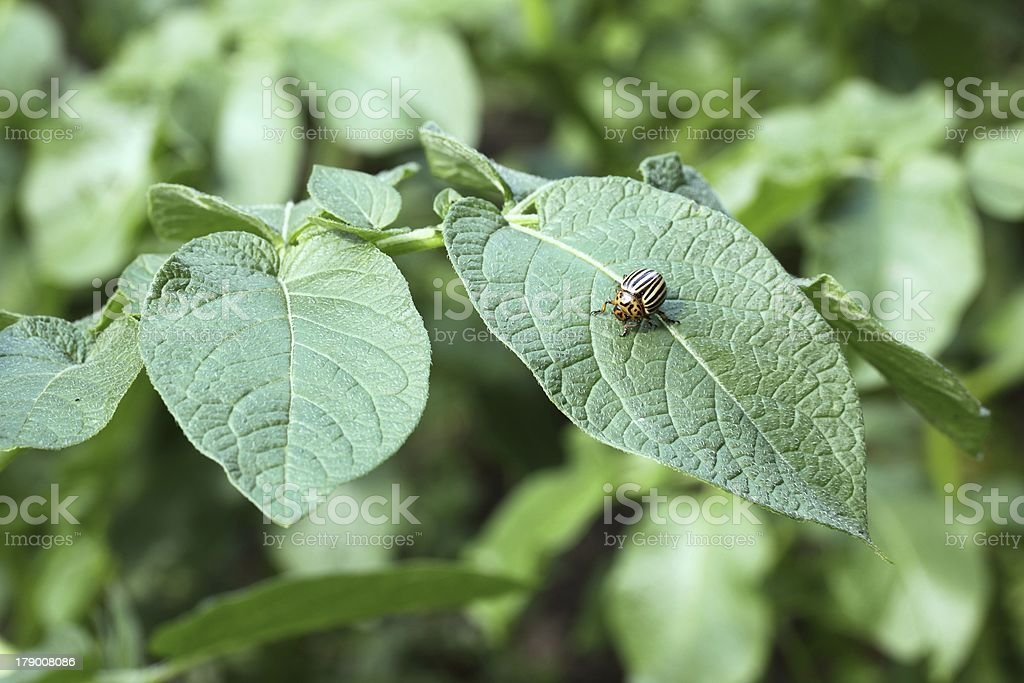 beetle on a potato field royalty-free stock photo