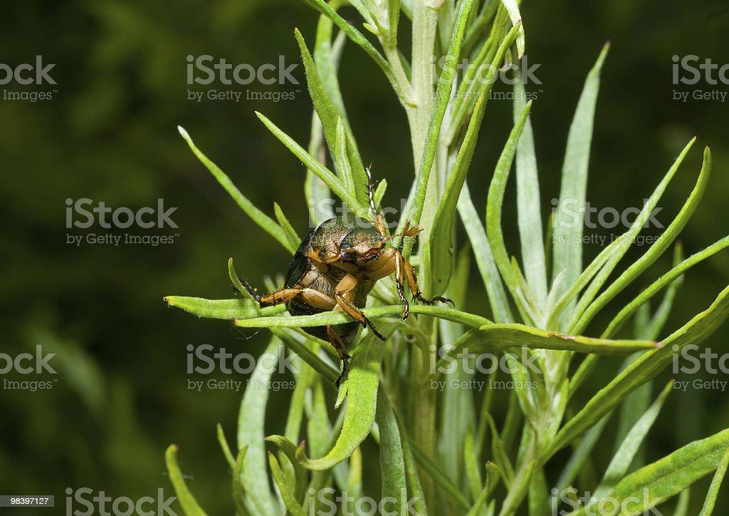 Beetle in erba foto stock royalty-free