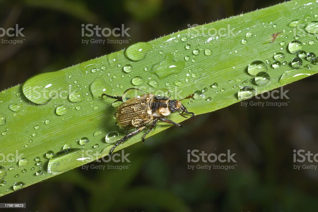 Beetle on grass-blade royalty-free stock photo