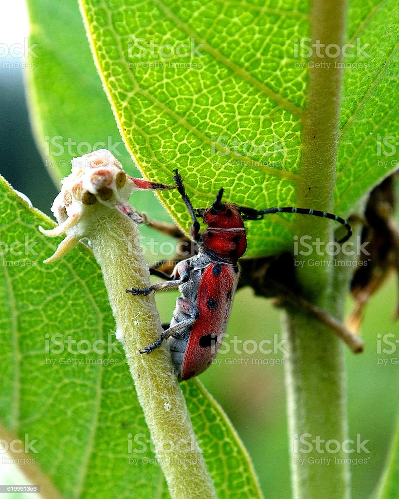 Beetle on Milkweed stock photo