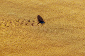 Beetle on Sand in Erg Chebbi Desert, Morocco, North Africa