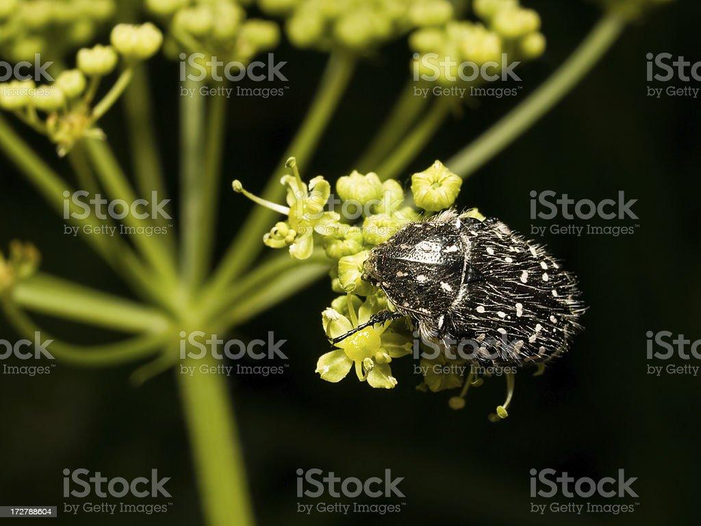 Beetle Oxythyrea funesta royalty-free stock photo