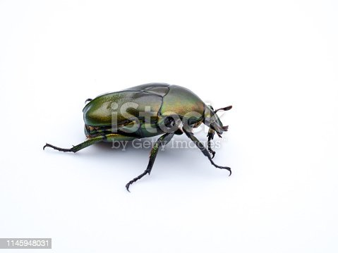 The beetle was photographed on a white background.