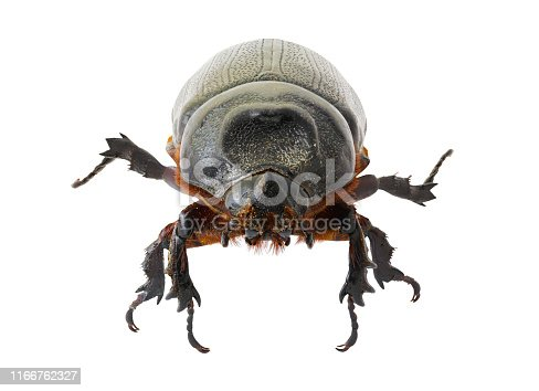 Black small beetle with front view,  isolated on white background