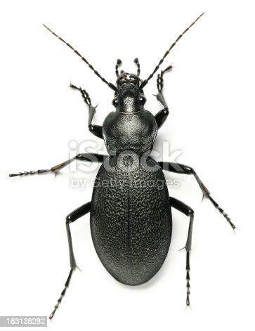 beetle from polish forest