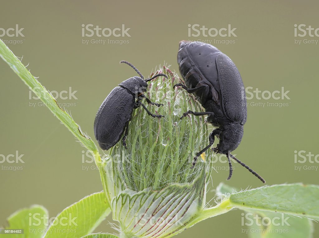 Beetle. royalty-free stock photo