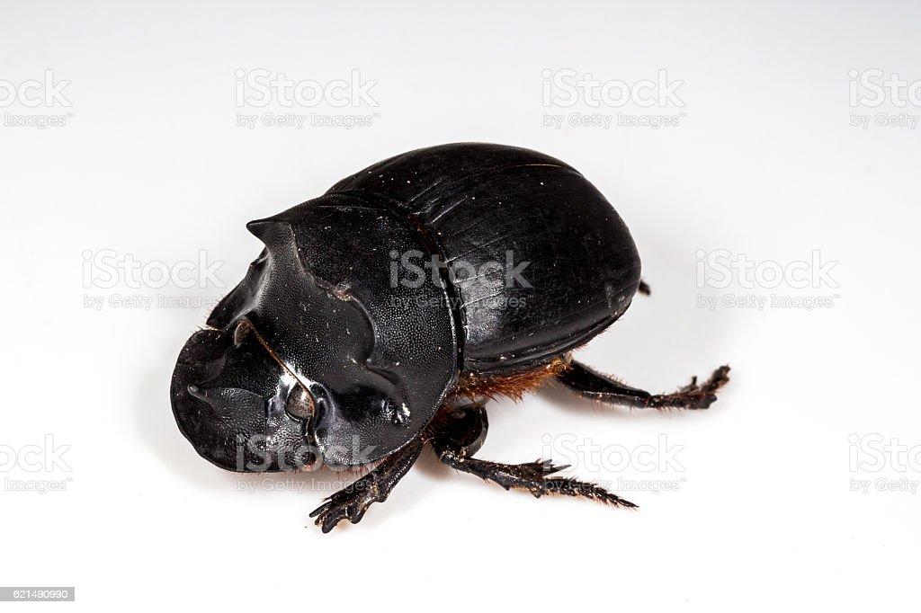 Beetle (Catharsius molossus) Rhino Beetle Lizenzfreies stock-foto