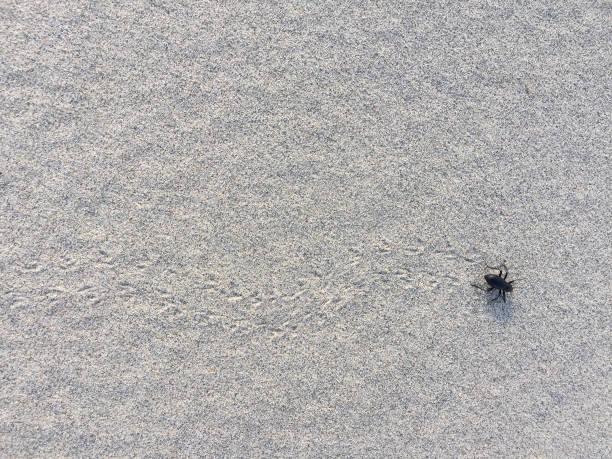 A beetle walks across sand leaving tracks. stock photo