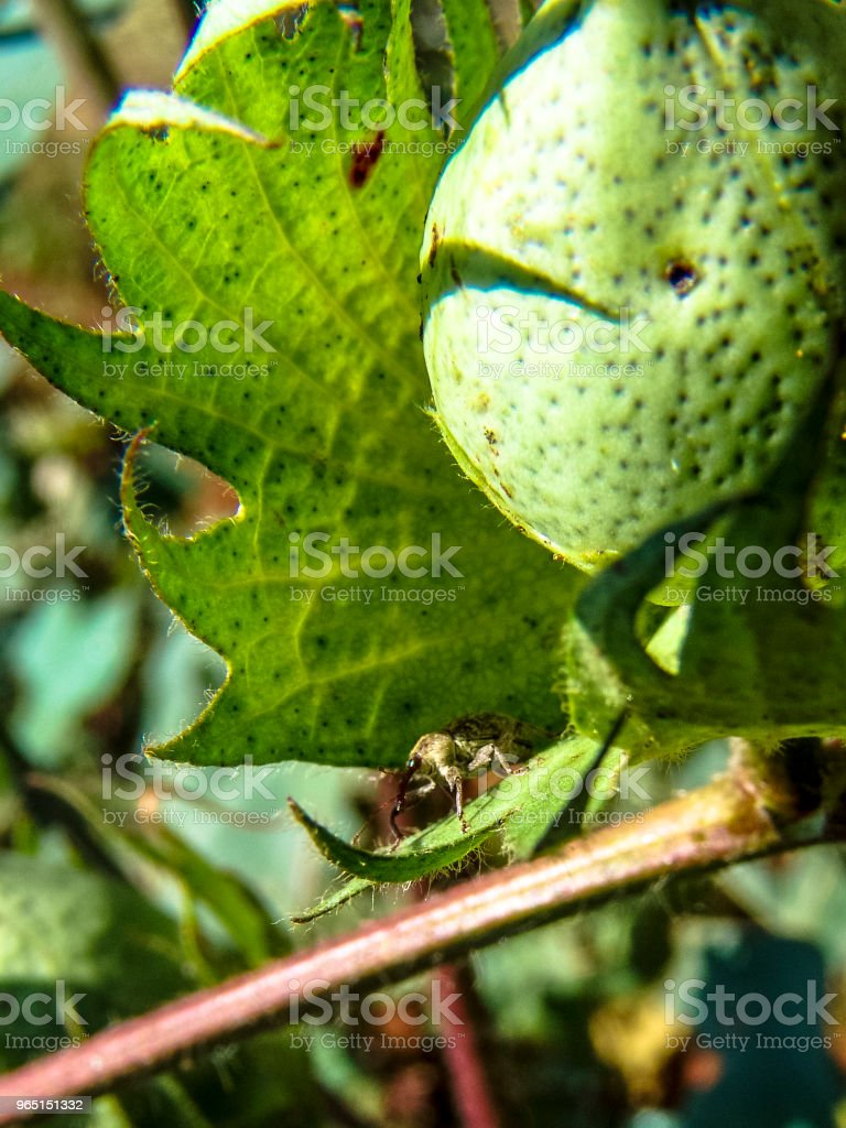 Beetle which feeds on cotton buds and flowers. royalty-free stock photo