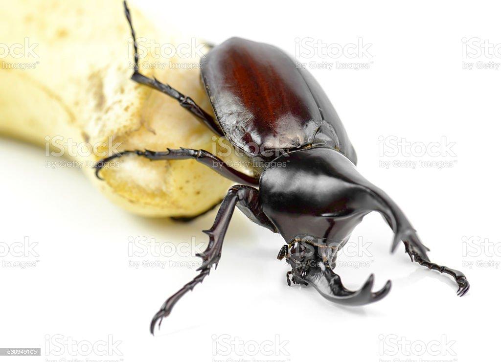 Fotografía de Escarabajo Escarabajo Rinoceronte Rhino Escarabajo ...