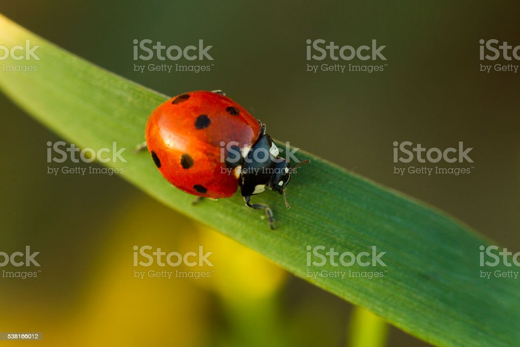 Beetles ladybug in green grass stock photo