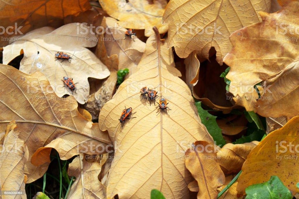 Beetles on the fallen leaves. Autumn. stock photo