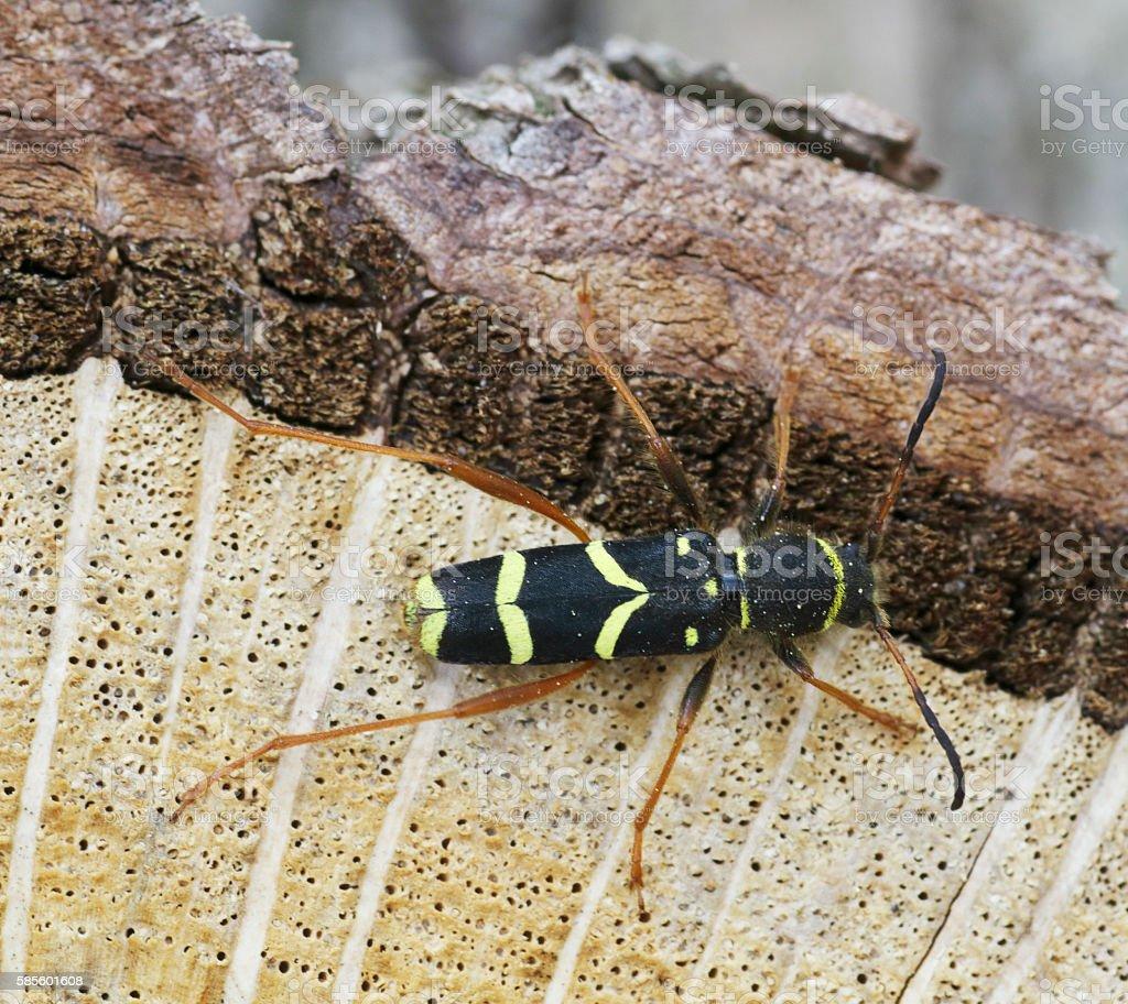Beetles: Wasp Beetle (Clytus arietis) stock photo