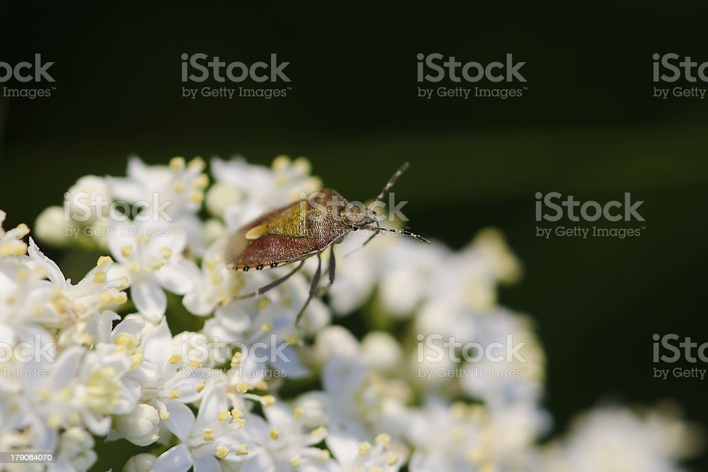 Beetle-shell on white flower royalty-free stock photo