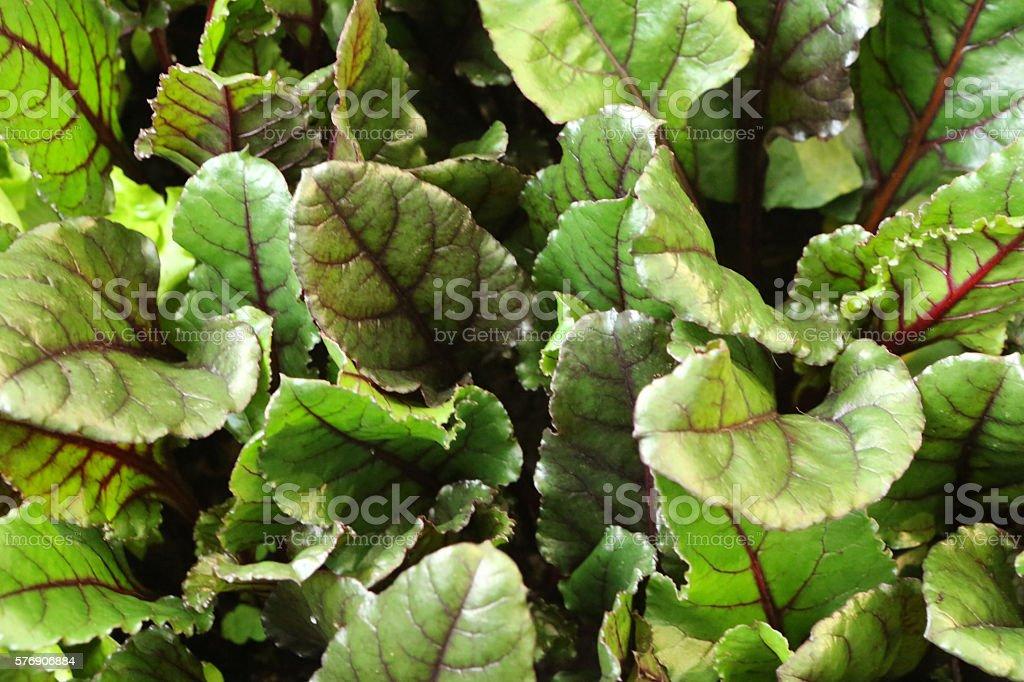 Beetroot- Beta Vulgaris Amaranthaceae stock photo