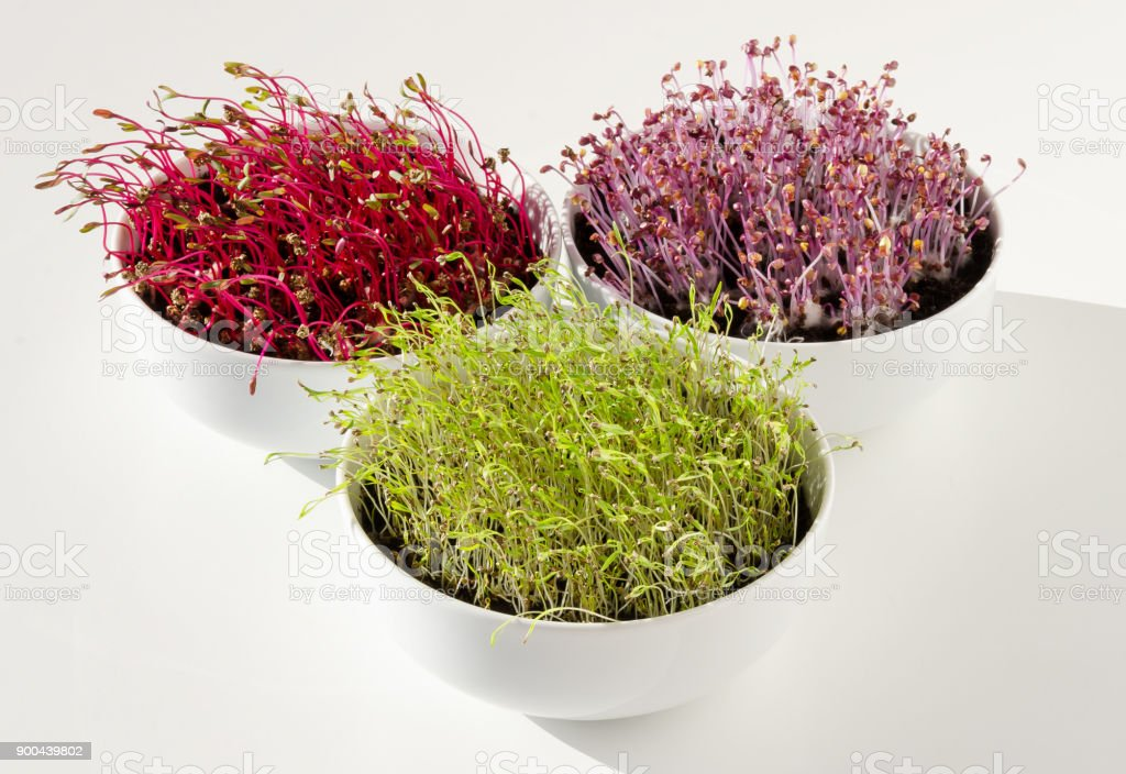 Beetroot, red cabbage, carrot microgreens in bowls front view stock photo