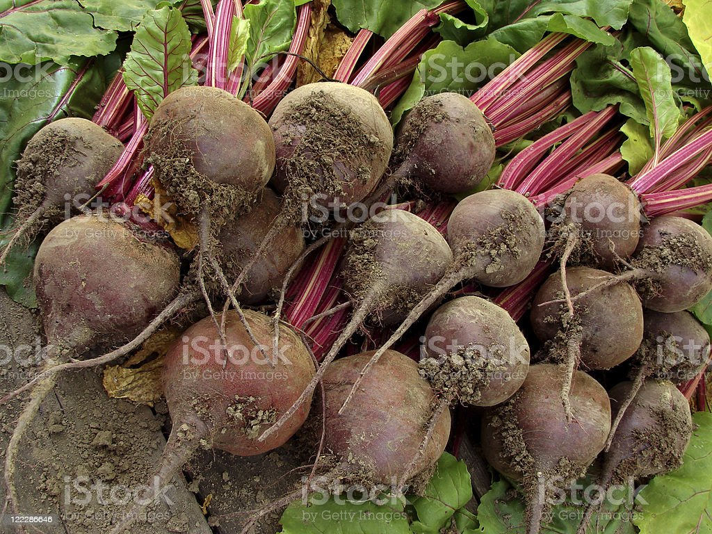 beetroots harvest royalty-free stock photo