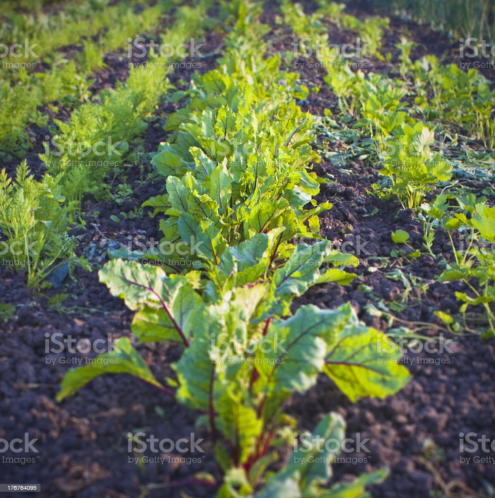 Beetroots in the allotment. stock photo