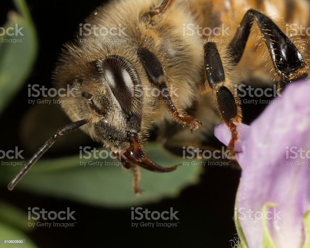 bee-very high magnification stock photo
