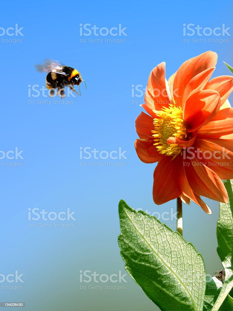 beez attack stock photo