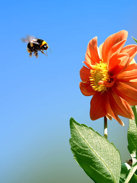 beez attack - bumblebee stock pictures, royalty-free photos & images
