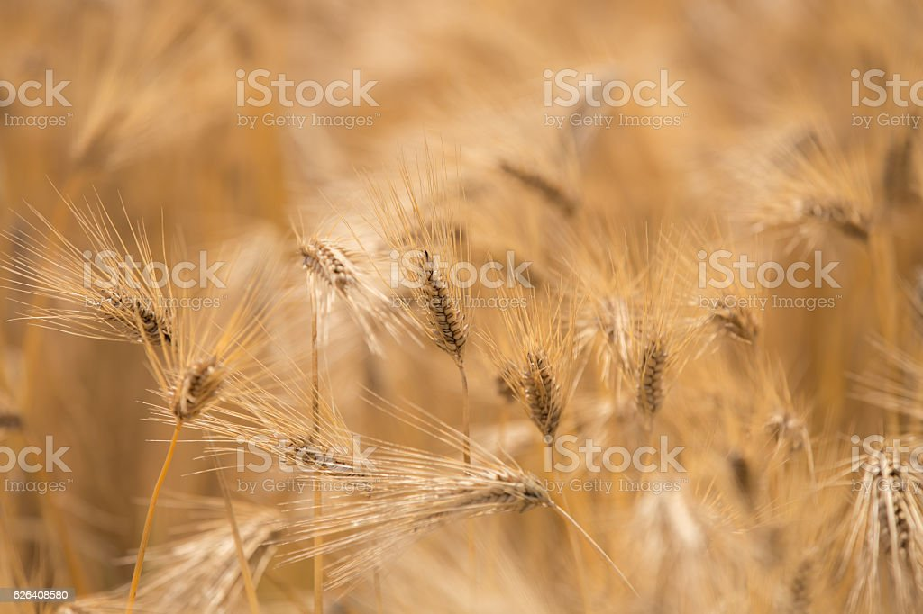 Before the wheat fields that turns red and yellow stock photo