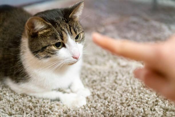 Eine Katze bezukehlen, indem man ihm einen Finger zum Geruch gibt. – Foto