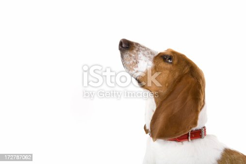 A beautiful basset hound looks for a treat.