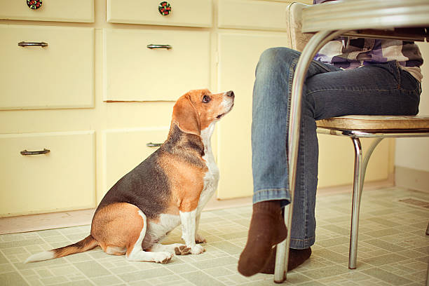 Begging Beagle At the Dinner Table A cute young female hound dog sits at her owners feet at the dinner table, giving a longing look while waiting for a scrap of food to drop.  Horizontal with copy space. pleading stock pictures, royalty-free photos & images
