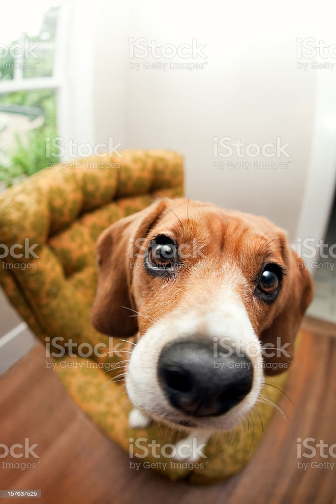 Begging Beagle Dog Fisheye stock photo