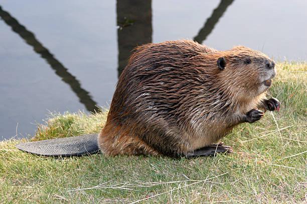 Mendicité Beaver - Photo