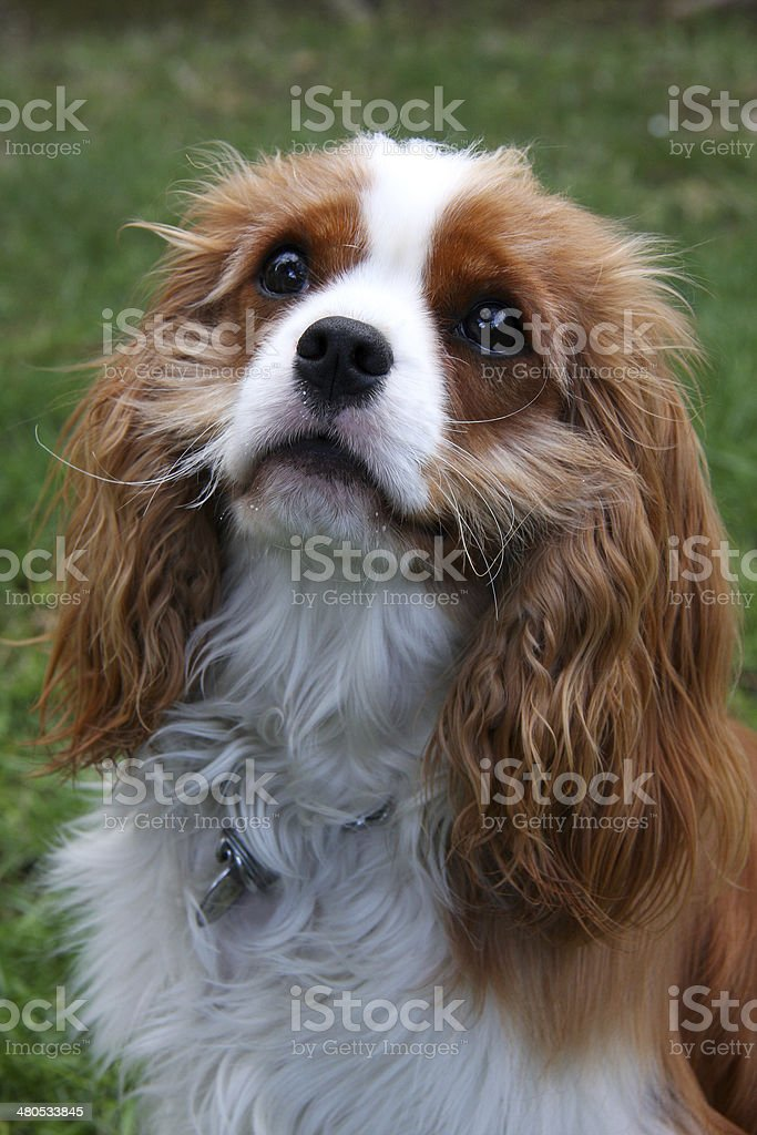 Begging Cavalier King Charles Spaniel stock photo