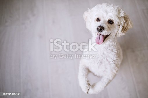 White poodle at home