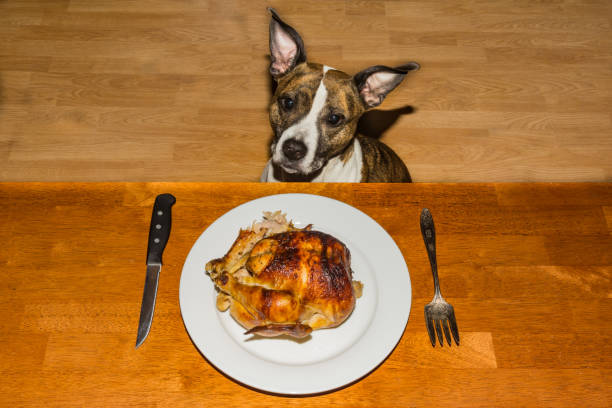 Begging for Dinner A cute dog begging for the holiday dinner. thanksgiving pets stock pictures, royalty-free photos & images